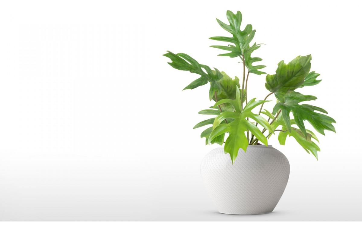 Costilla de Adán una planta tropical