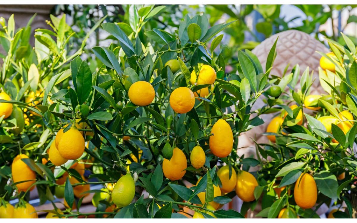 Cuidados del Limequat