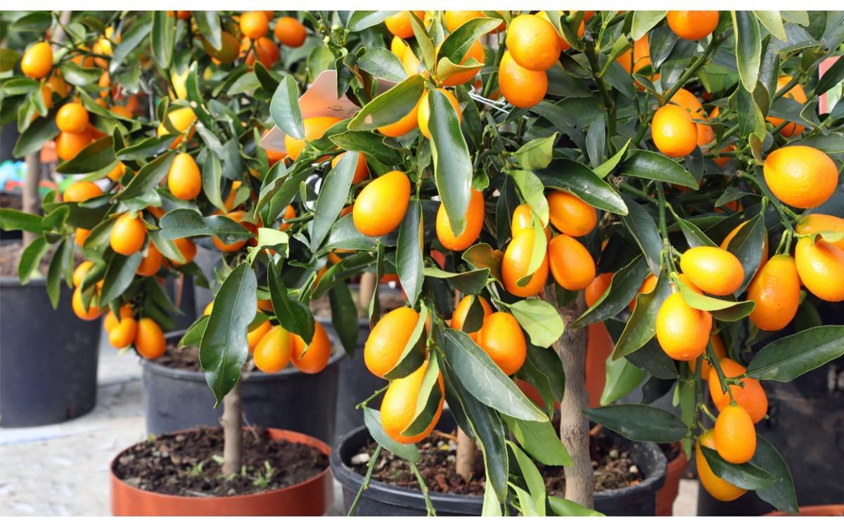 El Kumquat y las Naranjas Enanas