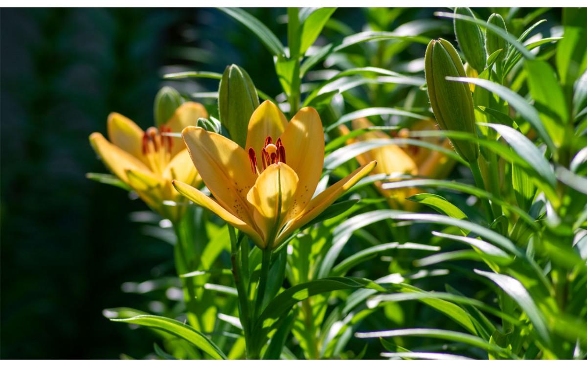 El Lirium, una hermosa flor llena de significados