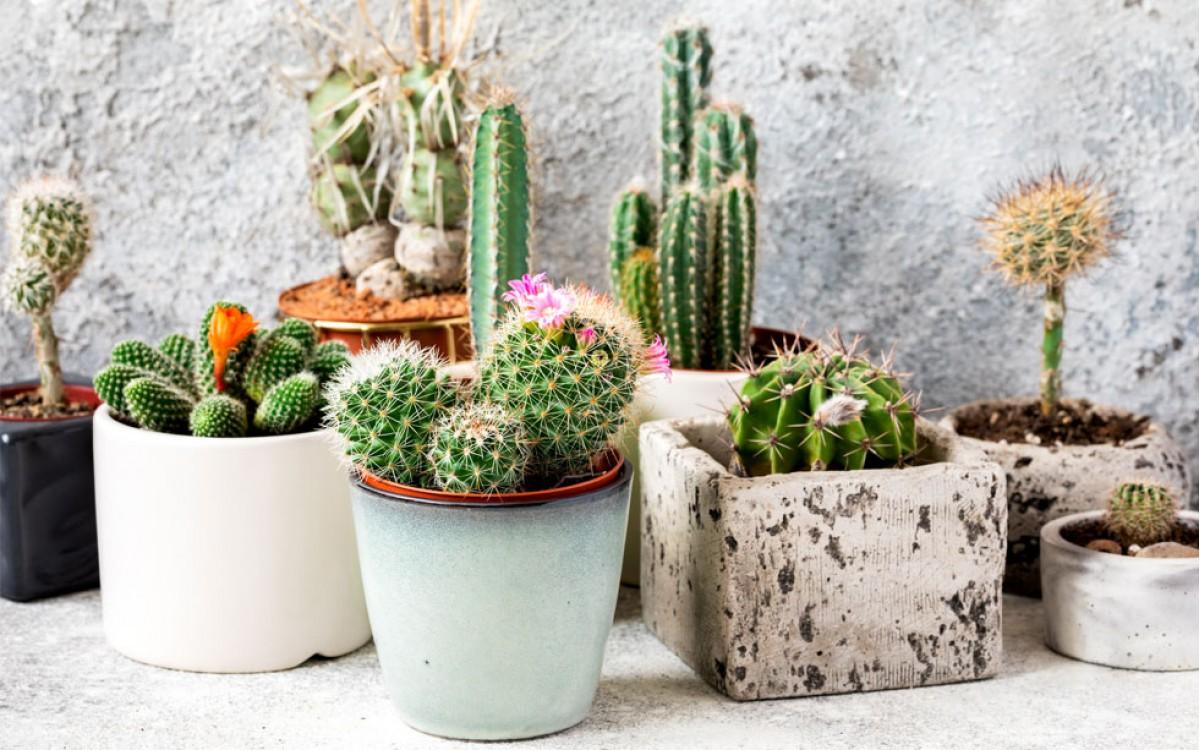 Los Cactus: Una fuente de salud y belleza