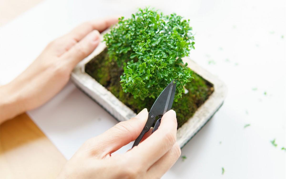 Principales técnicas de bonsái para lograr un atractivo árbol miniatura