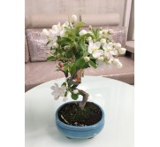 Bonsai Malus