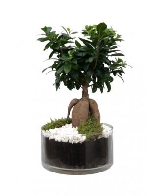 Bonsai Ficus  cristal