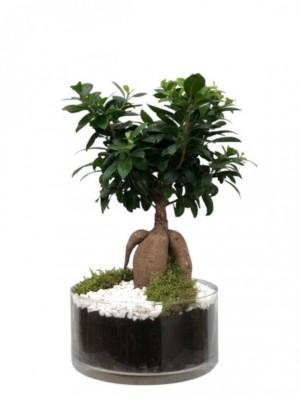 Bonsái Ficus en cristal