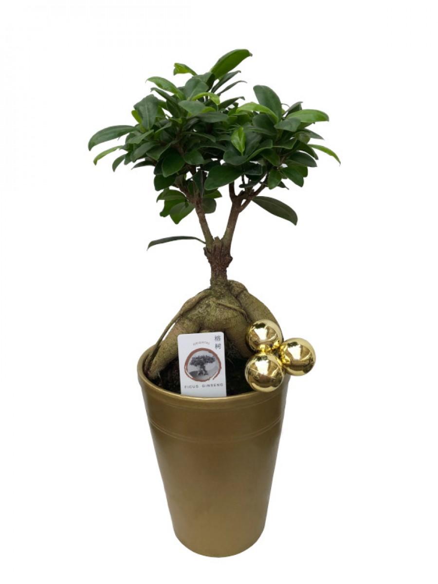 Bonsái de Ficus Ginseng en maceta decorativa