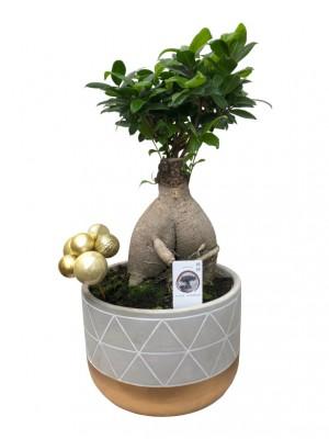 Bonsái de Ficus Ginseng en cerámica