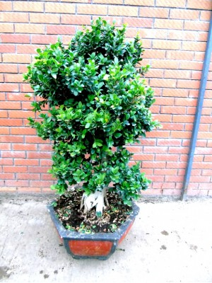 Bonsai ficus ginseng XXL (DISPONIBLE SOLO PARA MADRID)