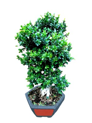 Bonsái ficus ginseng XXL (DISPONIBLE SOLO PARA MADRID)