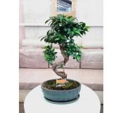 Bonsai de Ficus