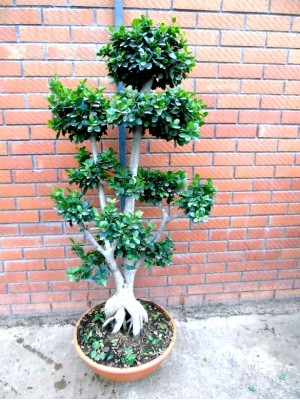 Bonsai ficus ginseng Ramificado XXL (DISPONIBLE SOLO PARA MADRID)