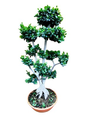 Bonsái ficus ginseng ramificado XXL (DISPONIBLE SOLO PARA MADRID)
