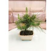Bonsai de pino