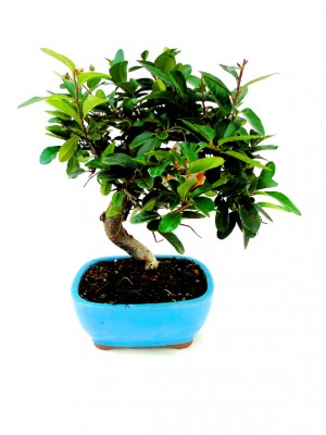 Bonsai Pyracantha 7 años