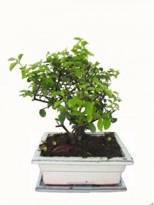 Bonsai Sageretia maceta de Ceramica