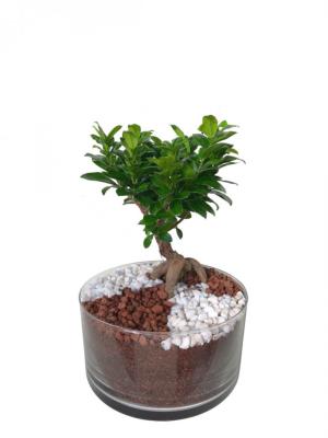 Bonsái de Ficus Ginseng mediano en cristal