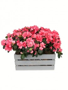 Caja de cuatro azaleas jaspeadas