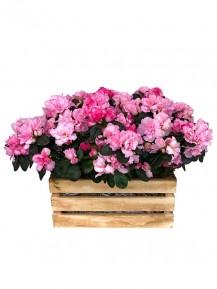 Caja de cuatro azaleas rosas