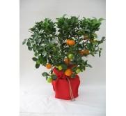 Naranjo en saco decorativo