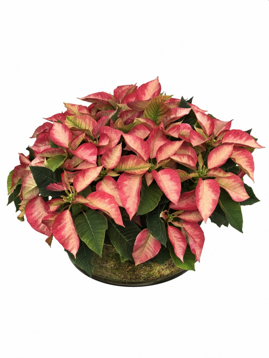 Centro de  mesa poinsettias SUPER (DISPONIBLE SOLO PARA MADRID)