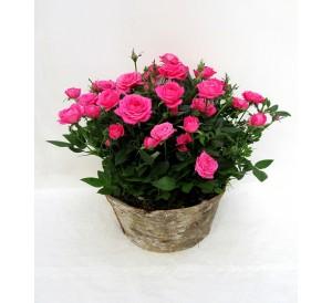 1 Centro de rosales
