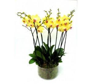 4 orquideas amarillas 2 vara vaso cristal
