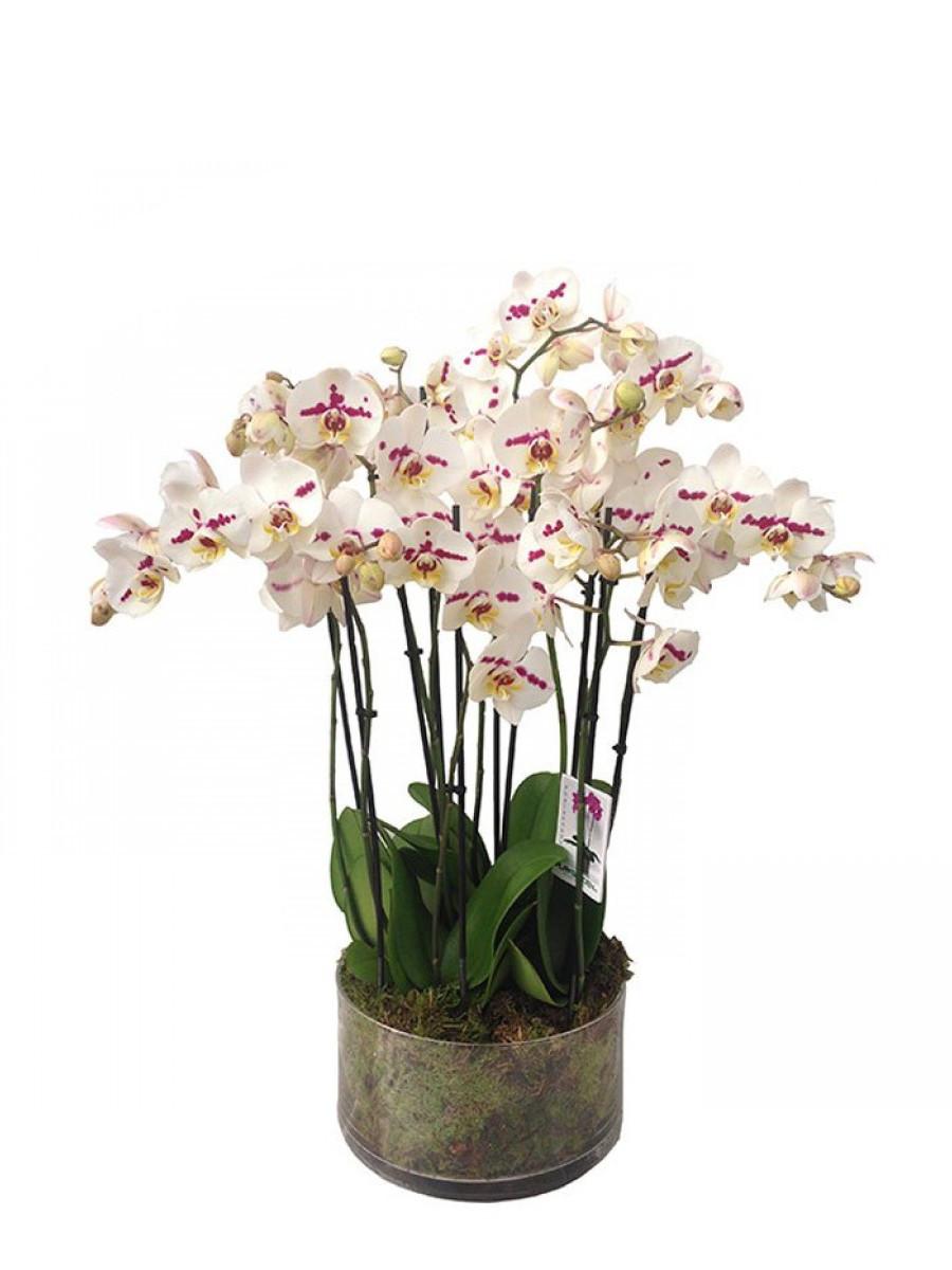Centro de 5 orquídeas de 2 varas en cristal