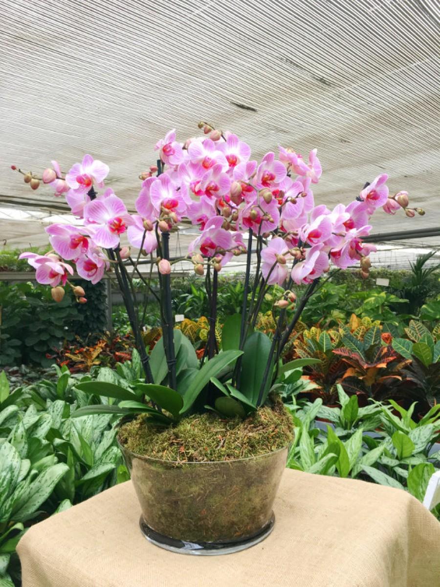 Centro de orquideas rosas con rayas