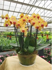 4 Orquídeas Naranjas 2 Varas en vaso de cristal