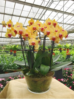 4 orquideas naranjas 2 vara vaso cristal