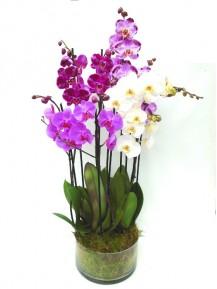 Orquidea multicolor