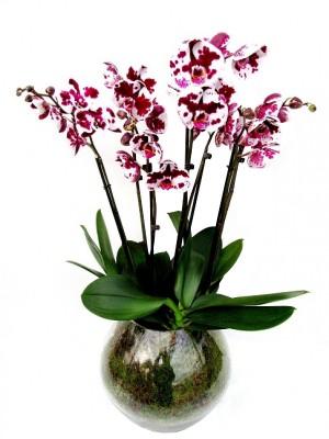 Centro de orquídeas bicolor