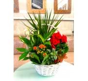 1 Centro  primaveral con Begonia rosa