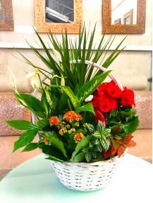 Centro  primaveral con Begonia
