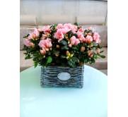 1 cesta de azaleas rosas