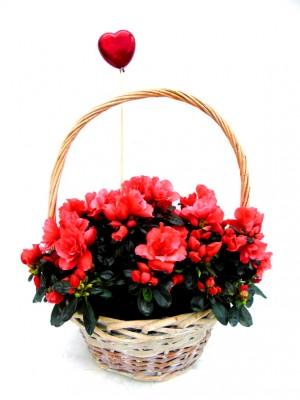 Azalea en cesta San Valentin