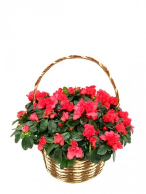 Cesta de cuatro azaleas rojas