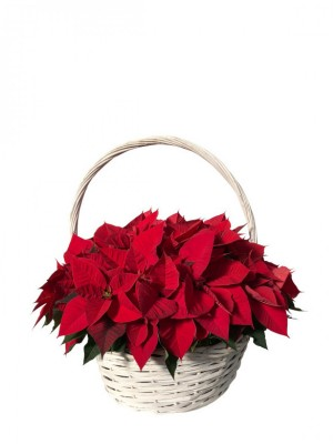 Cesta de flores de pascua rojas
