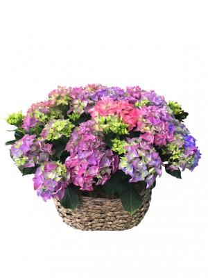 Cestas de hortensias azuladas