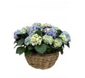 1 Cestas grande de hortensias azules