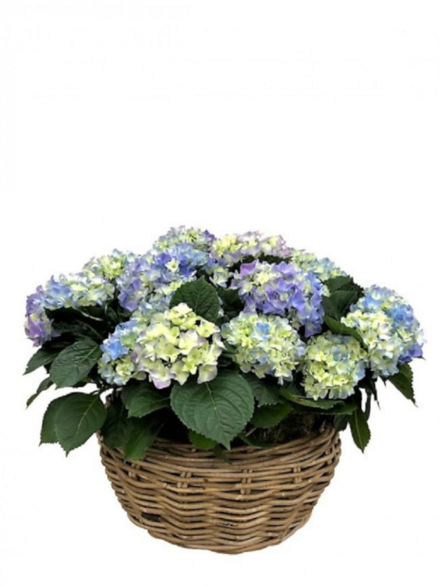 Cesta grande de hortensias azules