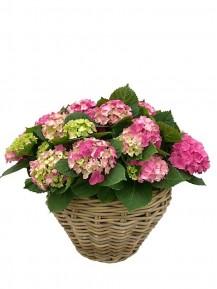 1 Cestas grande de hortensias rosas