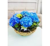 Cestas de hortensias azules