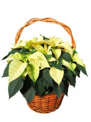 1 Cesta de flores de pascua amarillas  en cesta