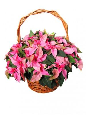 1 Cesta de flores de pascua pink  en cesta