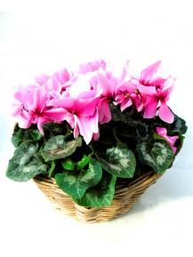 Cesta de cyclamenes rosas