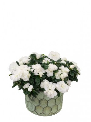 Cesta grande de azaleas blancas