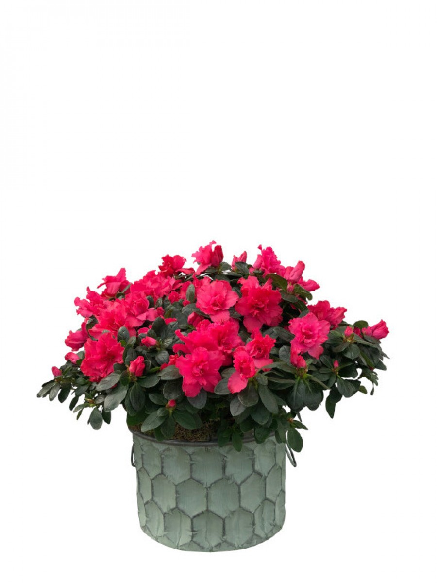 Azaleas rojas en macetero grande de latón