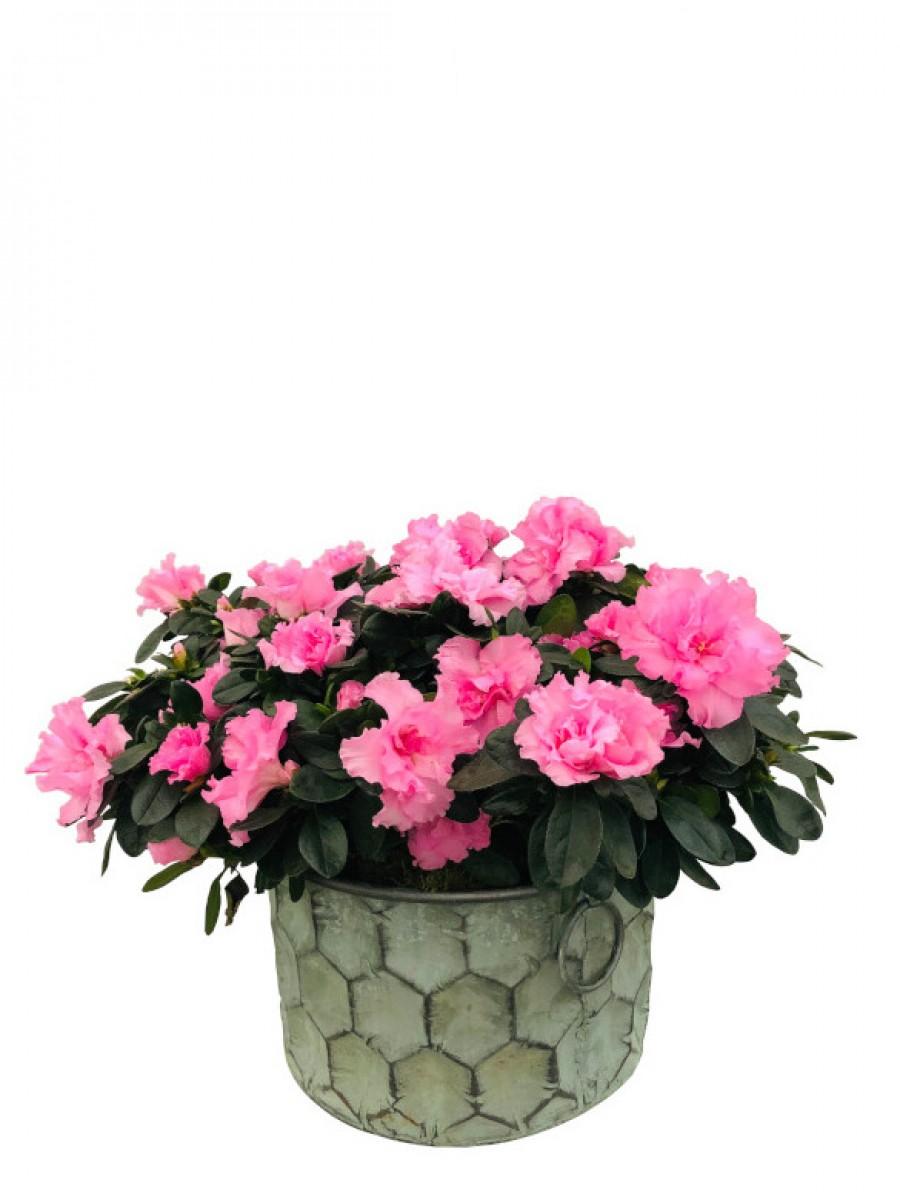 Azaleas rosas en macetero grande de latón