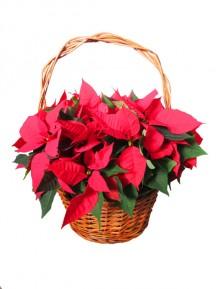 1 Cesta de flores de pascua rojas  en cesta